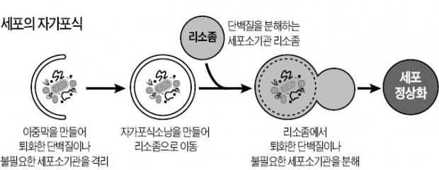 유해세포 잡아먹는 유전자로 신약후보물질 개발…간경변·뇌질환 치료 길 열리나