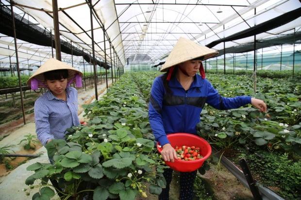 달랏 외곽에 있는 대형 딸기 하우스에서 농민들이 딸기를 수확하고 있다.