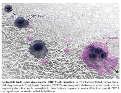 """""""면역항암제 효과, T세포 활성도가 좌우한다"""""""