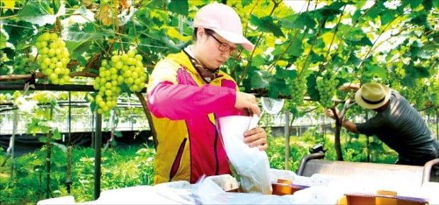 충북 영동의 한 농가가 샤인머스캣을 수확하고 있다. (사진 = 한경DB)