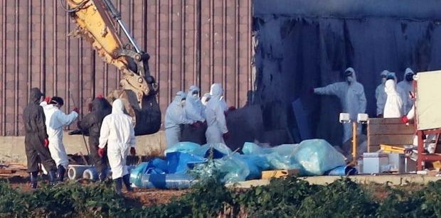 방역당국 관계자들이 24일 경기 김포시 한 양돈농장의 돼지들을 살처분하고 있다.  /연합뉴스
