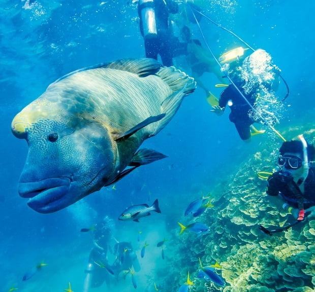 그레이트 배리어 리프의 매력적인 수중 풍경. 다이버들이 감상하고 있는 거대 물고기 '마오리 라스'는 뉴질랜드 원주민 마오리족을 닮아 이런 이름이 붙었다.  퀸즐랜드관광청 제공