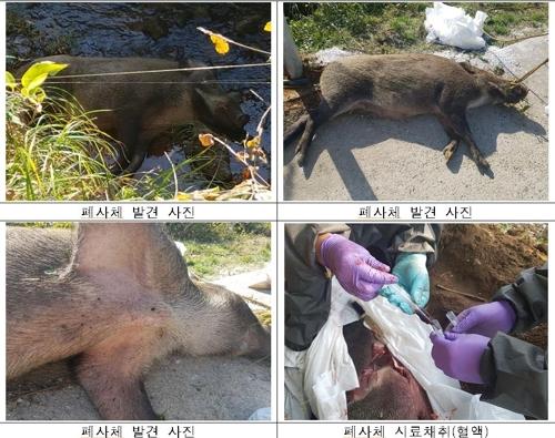 연천·철원 민통선 안 멧돼지 폐사체서 돼지열병 바이러스