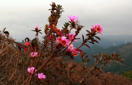 """[카메라뉴스] """"가을 맞나요?"""" 의령에 봄꽃 개나리·철쭉 만개"""