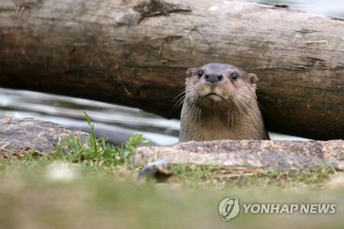 대구 월광수변공원서 멸종 위기 수달 2마리 발견