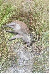 정부, 철원·연천 일부서 멧돼지 총기 사냥 허용