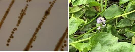 국내 연구진이 전립선암 세포 50% 사멸효과가 있다고 발견한 신종 미생물(왼쪽)과 물옥잠. / 사진 =국립낙동강생물자원관 제공