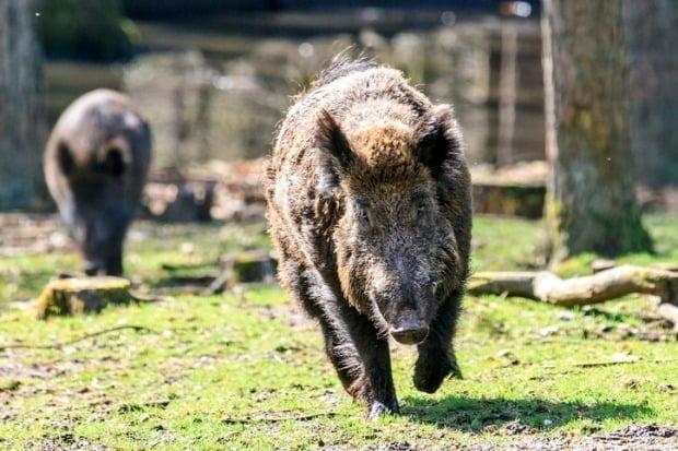 밤사이 부산 주택가에서 멧돼지가 출몰해 신고가 잇따랐다./사진=게티이미지
