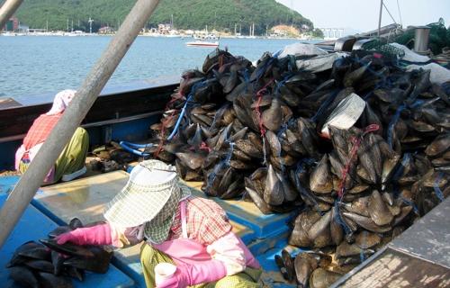 충남 보령산 키조개 일본서 인기…4년 사이 수출 6배 증가