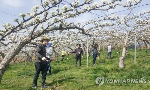 """충남산 배 13t 인도 첫 수출길…""""13억 인도시장 판로 개척"""""""