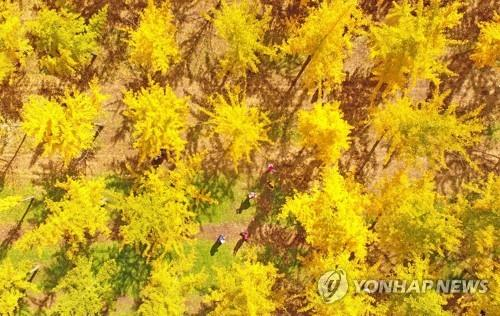 정선에 축구장 5.6배 규모 천년의 은행나무 숲 생긴다