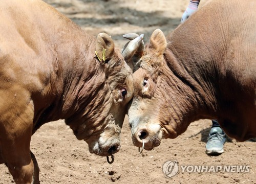 [경남소식] 의령 민속 소싸움 대회 9∼10일 열려…40경기 진행