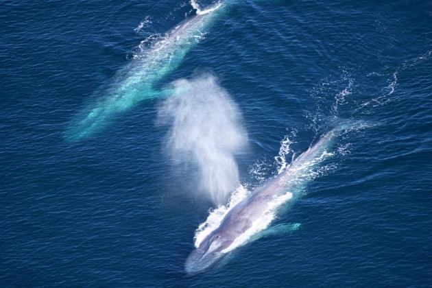 대왕고래 입 속의 수염. 미국해양대기청