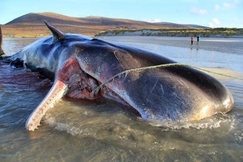 해안서 죽은 고래 배 갈라보니…쓰레기 100㎏ '와르르'