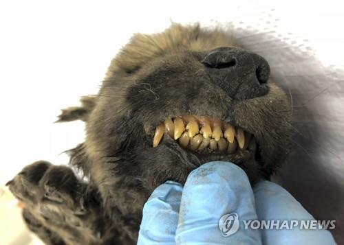 1만8천년 전 시베리아서 발견된 동물 미라…개? 늑대?