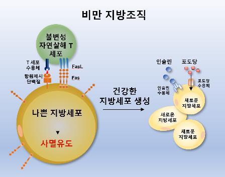 서울대 연구진, '나쁜 지방세포' 갈아치우는 면역세포 발견