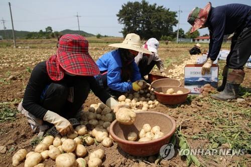 """제천시 """"농산물 가격안정 기금 첫 지원…감자만 가능"""""""