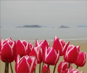 임자도의 대표 봄 꽃 '튤립'