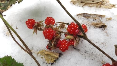 '유네스코생물권보전지역' 신안 섬에 겨울딸기 대규모 서식