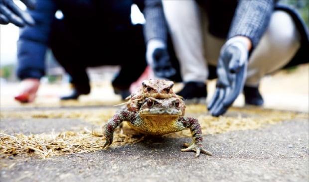 2주 빠른 두꺼비 '봄 나들이'