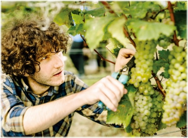 조지아는 수 백 여종의 토착 포도 품종을 보유한 와인 생산국이다.  National Wine Agency of Georgia 제공
