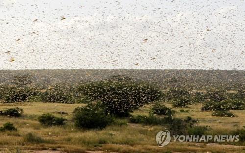 """동아프리카 메뚜기떼 비상…""""작물 초토화로 수백만명 기아 직면"""""""