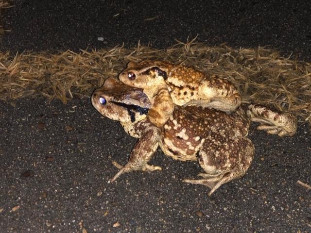 전국 최대 두꺼비 산란지 망월지서 두꺼비 대이동 시작