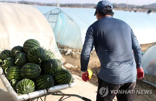 '잦은 겨울비' 이상기후로 함안 수박 농가 생육부진 피해 '비상'