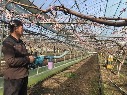 [카메라뉴스] 성큼 다가선 봄…복숭아꽃 수분작업 한창