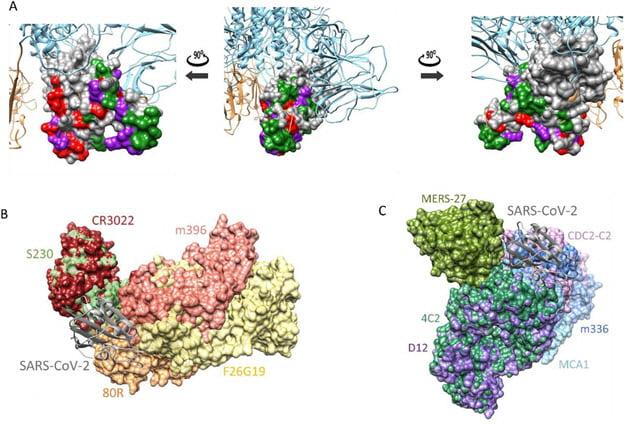 코로나19 바이러스 스파이크 단백질의 3차원 구조(A)와 사스 중화항체 (B) 및 메르스 중화항체(C) 결합 예측. 사진=신종바이러스융합연구단