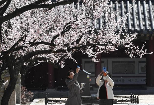 창경궁 봄꽃 만발