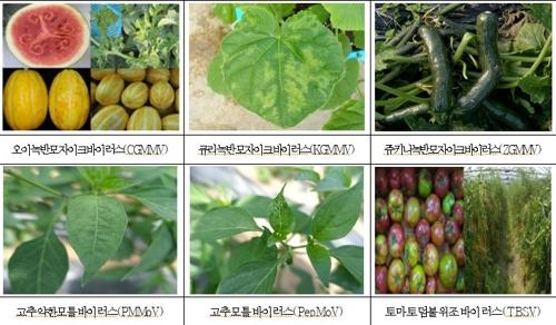 강원농기원, 원예작물 바이러스 진단키트 무상 분양