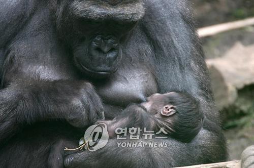 코로나19 확산으로 침팬지 등 고등 유인원도 감염 위협
