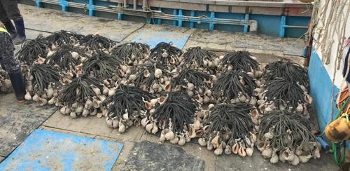 작년 안산 수역 주꾸미 어획량 127%↑…'산란장 조성' 효과