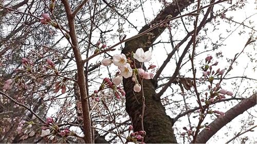계룡산 벚꽃 활짝…지난해보다 9일 일찍