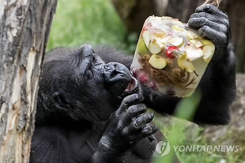 코로나19에 '인류 사촌' 고릴라·오랑우탄 멸종위기 커진다