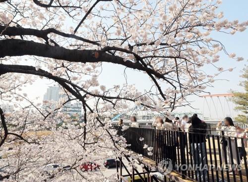 청주 무심천 벚꽃 만발…지난해보다 8일 일러