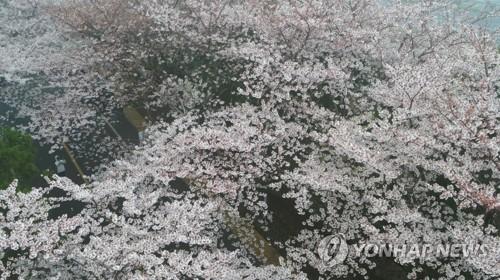 '분홍 팝콘 퐁퐁' 제주 벚꽃 만발…작년보다 2일 빨라
