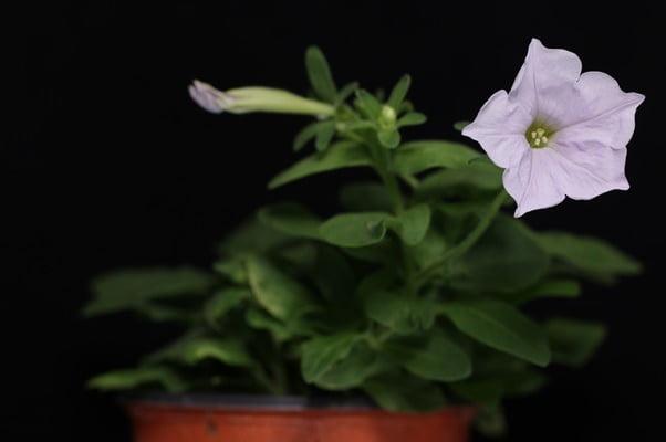 Petunia coreeană obținută cu CRISPR, aprobată de USDA