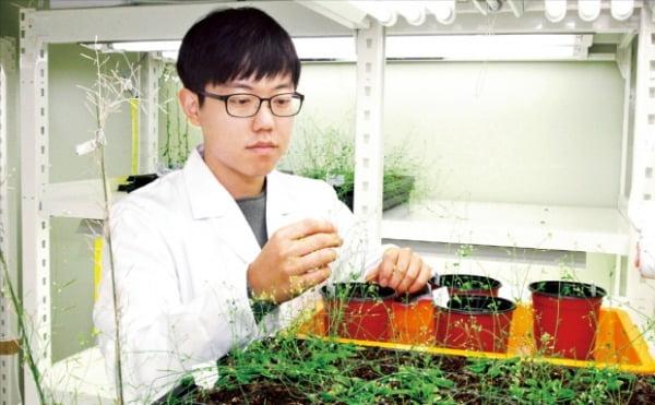 한국생명공학연구원의 연구원이 연구용 식물인 애기장대를 관찰하고 있다.  한국생명공학연구원 제공