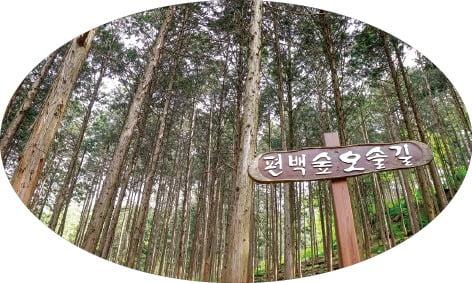 편백나무숲