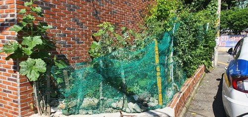 빌라 화단과 옥상에 양귀비 100그루 재배한 70대 적발