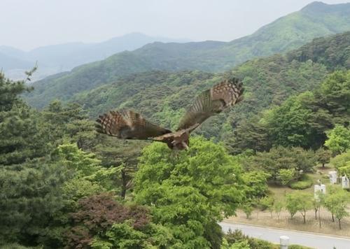 [카메라뉴스] 날개 꺾인 수리부엉이 재활 거쳐 다시 '훨훨'