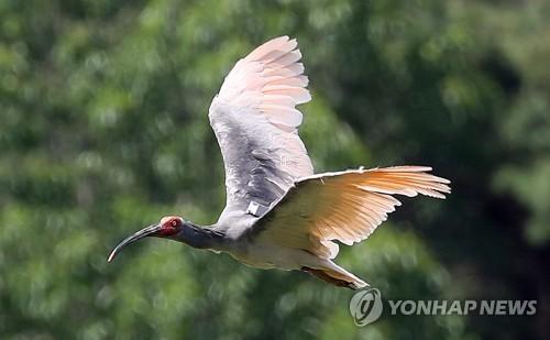 멸종→복원→증식 '따오기' 자연으로…지난해 이어 두번째 방사