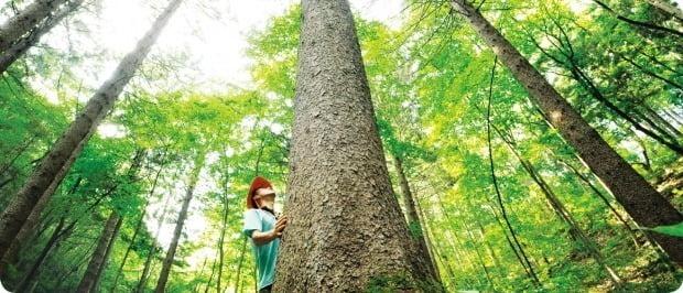 우리나라 국토의 63.2%는 산림이 차지하고 있다. 국민이 숲에서 받는 산림 혜택을 돈으로 환산하면 그 가치는 221조원에 달한다. 사진은 전북 무주군 국립덕유산자연휴양림 내 독일가문비나무숲.  산림청 제공