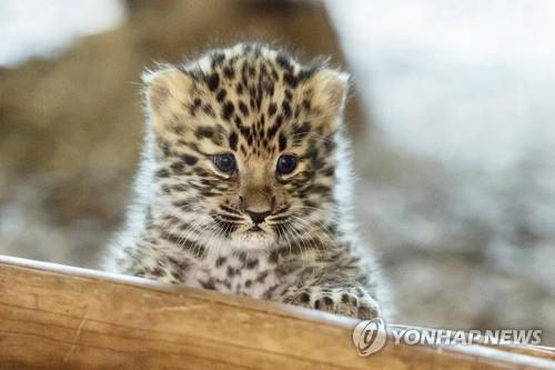 러 연구진, 멸종위기종 아무르표범 3세대 가계도 첫 공개