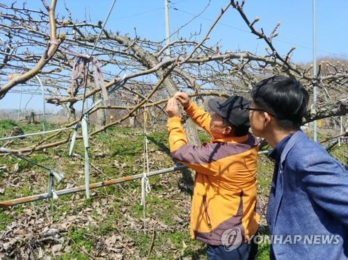 '영하 6.9도까지 뚝 떨어진 봄' 충북 농작물 4천94㏊ 냉해