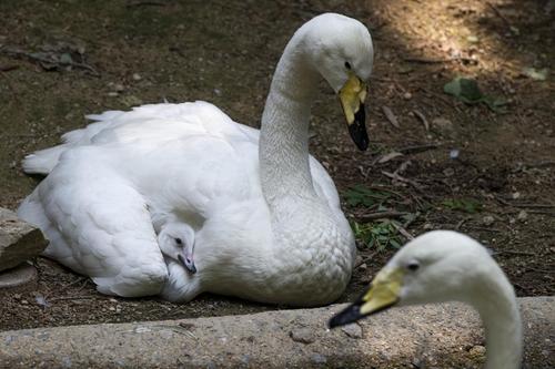 에버랜드 동물원 큰고니 커플 24년 만에 자연부화 성공