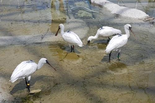 '멸종위기 야생생물 1급' 저어새 방사, 기상악화로 연기