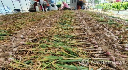 올해 마늘 예상 생산량 35만t…작년보다 줄어 가격 오를 듯